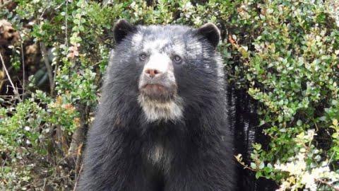 oso de anteojos anteojos, tomado de internet