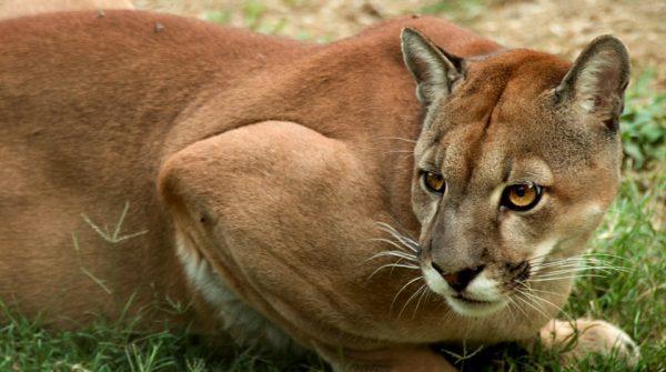 Puma, Paqrue nacional Natural Las hermosas, Colombia; Fotografía tomada de internet.