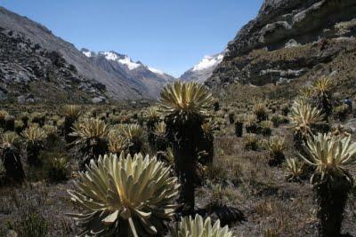 Frailejjones, PNN de El Cocuy; Fotografía tomada de internet.